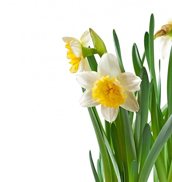 Wiosna Kwitnie Narcyz Odizolowywającego. Darmowe Zdjęcia