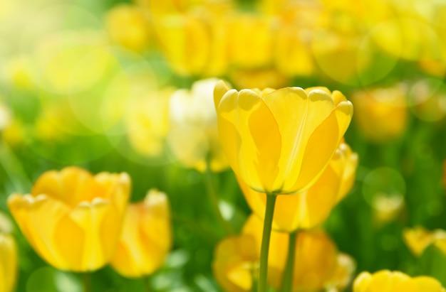 Wiosna łąka Z Jaskrawymi Kolorowymi Tulipanowymi Kwiatami Z Selekcyjną Ostrością. Premium Zdjęcia
