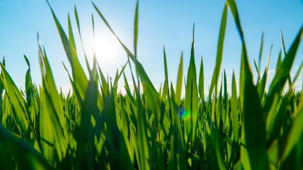 Wiosny Pole Z Zieloną Trawą Przeciw Niebu Premium Zdjęcia