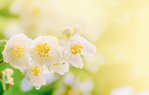 Wiosny Tło Gałąź Jaśmin Kwitnie Z Kroplami Deszczu W Miękkim świetle Słonecznym Premium Zdjęcia