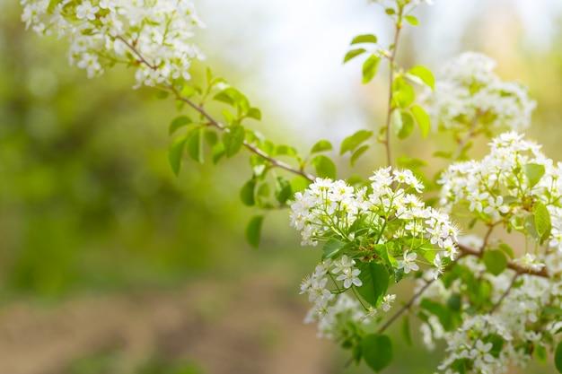 Wiśniowy kwiat na wiosnę Premium Zdjęcia