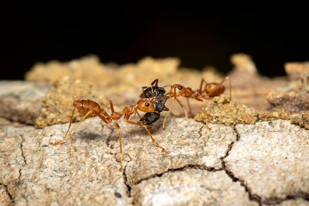 Wizerunek Czerwona Mrówka Na Drzewie (oecophylla Smaragdina). Owad. Zwierzę. Premium Zdjęcia