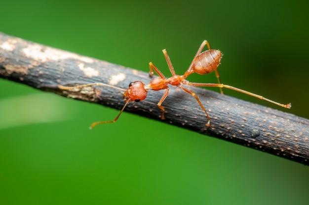 Wizerunek Czerwona Mrówka Na Gałąź (oecophylla Smaragdina). Owad. Zwierzę. Premium Zdjęcia