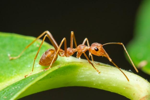 Wizerunek Czerwona Mrówka Na Zielonym Liściu (oecophylla Smaragdina). Owad. Zwierzę Premium Zdjęcia