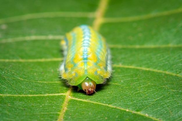 Wizerunek Zielony ćma Gąsienica Na Zielonych Liściach. Owad. Zwierzę Premium Zdjęcia