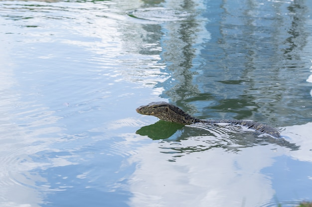 Wodny Monitor Lub Tajlandia Smoka Zwierzęcy Aligator W Wodnym Stawie Premium Zdjęcia