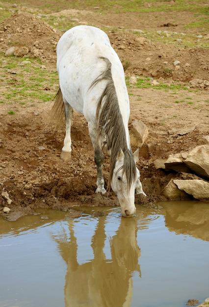 Wody Pitnej Białego Dzikiego Konia U Podnóża Premium Zdjęcia