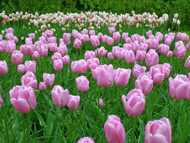 Wspaniałe Fioletowe Tulipany W Ogrodzie Keukenhof Po Wiosennej Prysznicu, Holandia Premium Zdjęcia