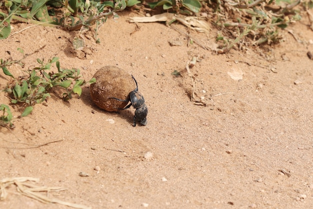 Wysoki Kąt Ujęcia Czarnego Chrząszcza Gnojowego Niosącego Kawałek Błota Drogi W Pobliżu Roślin Darmowe Zdjęcia