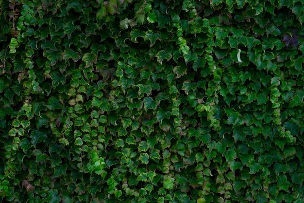 Wysoki Kąt Widzenia Bluszczowego Ogrodu W Słońcu - Doskonały Jako Tło I Tapety Darmowe Zdjęcia