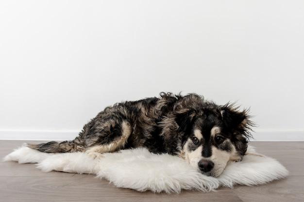 Wysokiego Kąta Pies Siedzi W Domu Na Owłosionym Dywanie W Domu Darmowe Zdjęcia