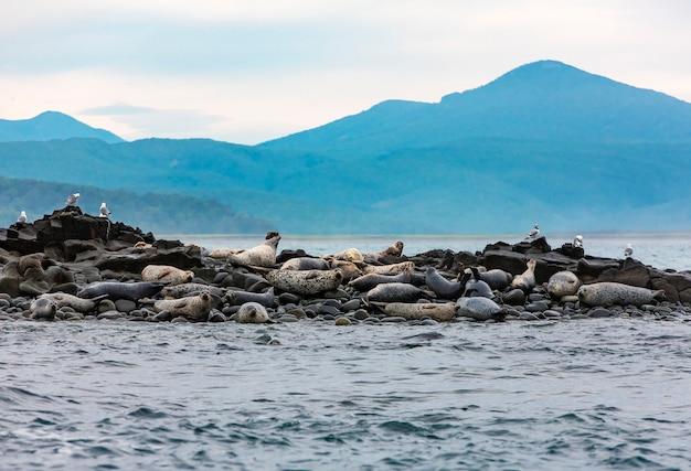 Wyspa Fok Na Oceanie Spokojnym Na Półwyspie Kamczatka Premium Zdjęcia