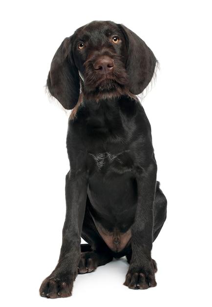 Wyżeł Niemiecki Krótkowłosy, 3 Miesiące. Portret Psa Na Białym Tle Premium Zdjęcia