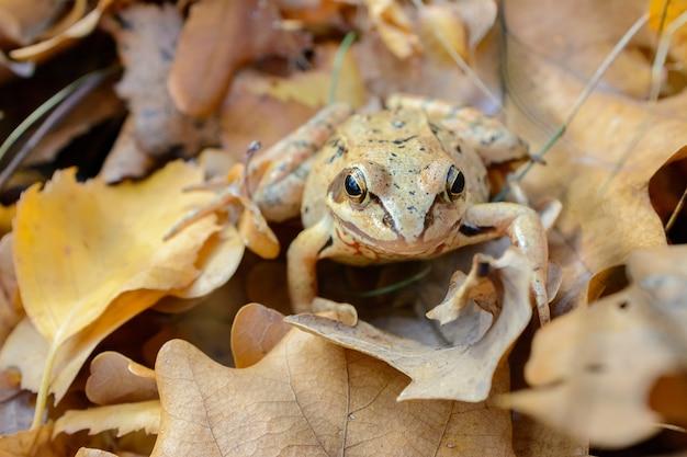 Żaba Leśna Wtapia Się W Kolor Jesiennych Liści, Biologiczne Mechanizmy Ochrony Przed Drapieżnikami, Maskujące Zwierzęta Dla środowiska Premium Zdjęcia