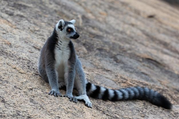 Zabawne Lemury Katta W Ich Naturalnym środowisku Premium Zdjęcia