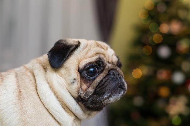 Zabawny Młody Pies Rasy Mops W Pomieszczeniu Darmowe Zdjęcia