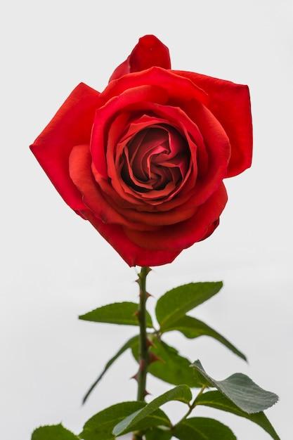 Zakończenie artystyczna czerwieni róża z płatkiem Darmowe Zdjęcia