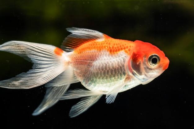 Zakończenie Frontowego Widoku Betta Pomarańczowa Piękna Ryba Odizolowywał Czarnego Tło Darmowe Zdjęcia