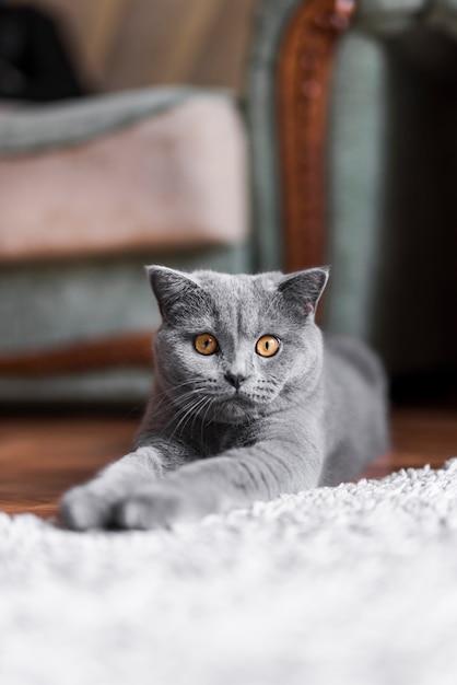 Zakończenie łgarski szary brytyjski shorthair kot Darmowe Zdjęcia