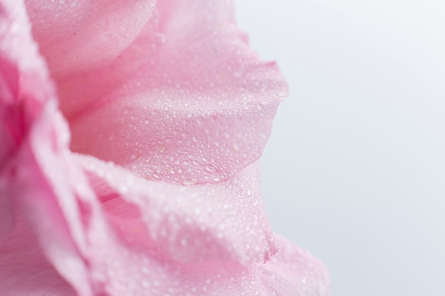 Zakończenie menchii róża z zamazanym tłem Darmowe Zdjęcia