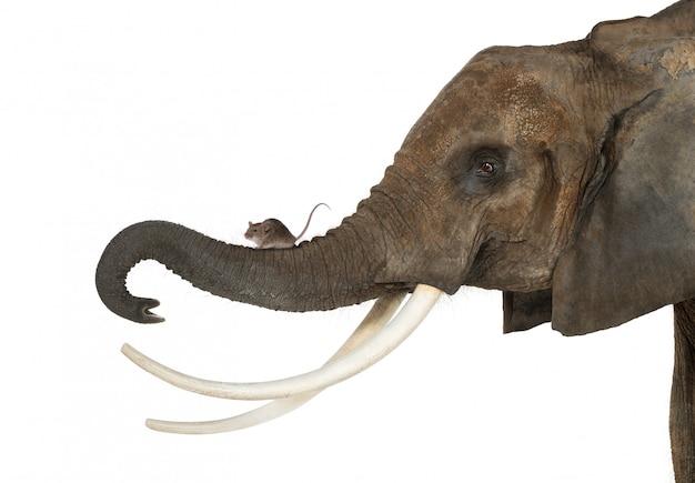 Zakończenie Myszy Pozycja Na Słonia Bagażniku, Odizolowywający Na Bielu Premium Zdjęcia