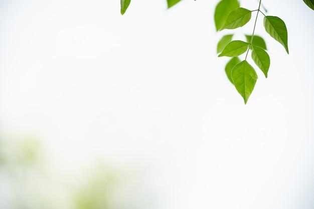 Zakończenie Natura Widoku Zieleni Liść Na Białym Niebie I Zamazany Zieleni Tle Pod światłem Słonecznym Z Bokeh I Kopii Przestrzenią Up Używać Jako Tło Naturalnych Roślin Krajobraz Premium Zdjęcia