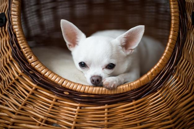 Zakończenie Portret Smutny Chihuahua Szczeniak Patrzeje Kamerę Od Swój Psiego Domu Premium Zdjęcia