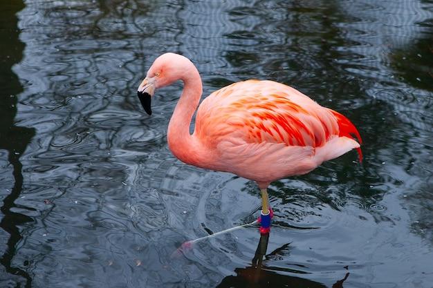 Zakończenie Różowi Flamingi, Ptak Na Ciemnej Wodzie. Kontrast. Premium Zdjęcia