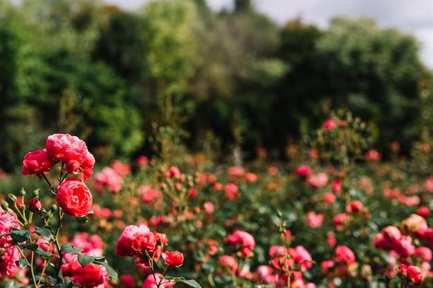 Zakończenie Różowi Kultywujący Kwiaty W Ogródzie Premium Zdjęcia