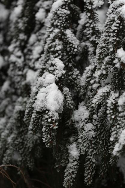 Zakończenie Sosny Z śniegiem Darmowe Zdjęcia