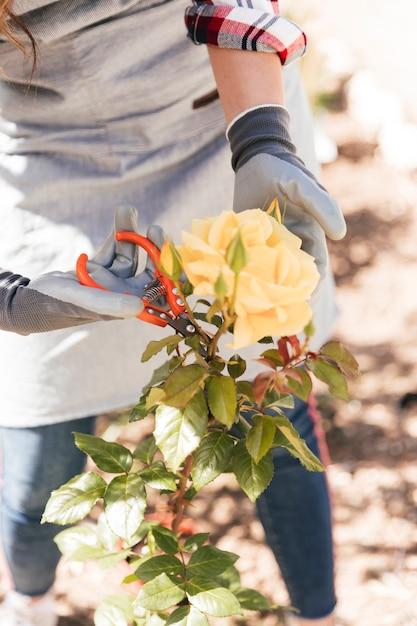 Zakończenie żeńska ogrodniczka przycina żółtego róża kwiatu z nożycami Darmowe Zdjęcia