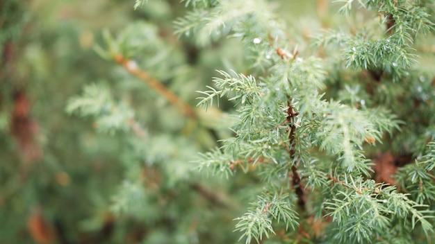 Zamazany Obraz Nieostre Tło Drzewa Iglastego Premium Zdjęcia
