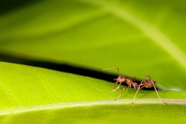 Zamknij Się Czerwona Mrówka Na świeżym Liściu W Naturze Premium Zdjęcia