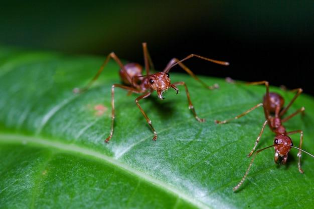 Zamknij Się Czerwona Mrówka Na Zielonych Liściach W Naturze Premium Zdjęcia