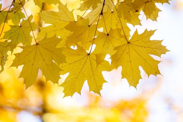 Zamknij Się Jasne żółte I Czerwone Liście Klonu Na Gałęziach Jesienią Z żywymi Niewyraźne Tło W Parku Jesienią. Premium Zdjęcia