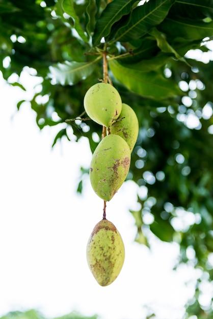 Zamknij się mango na drzewie mango Premium Zdjęcia