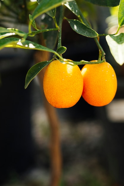 Zamknij się pomarańcze w ogrodzie Darmowe Zdjęcia
