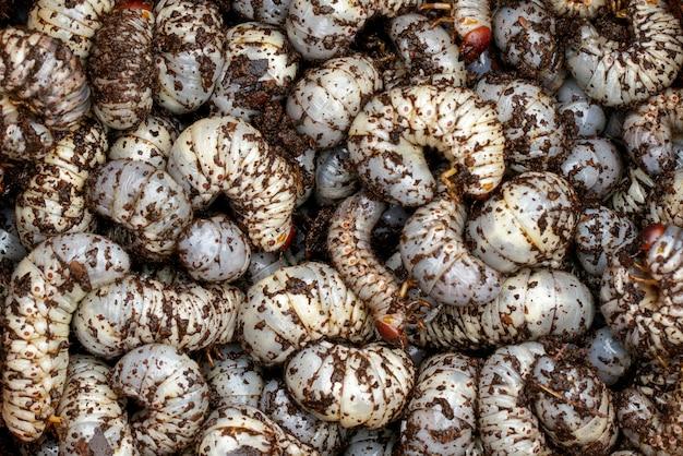 Zamknij Się Robaki, Chrząszcz Nosorożec Kokosowy Premium Zdjęcia