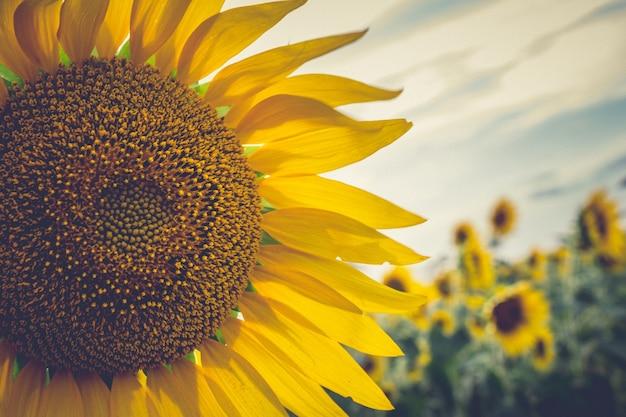 Zamknij się słonecznika Darmowe Zdjęcia