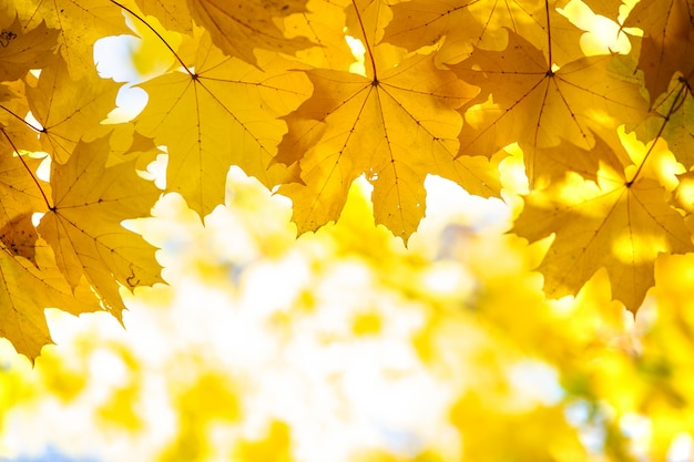 Zamknij Się Z Jasnych żółtych I Czerwonych Liści Klonu Na Jesiennych Gałęziach Drzew Z żywym Rozmytym Tłem W Jesiennym Parku. Premium Zdjęcia