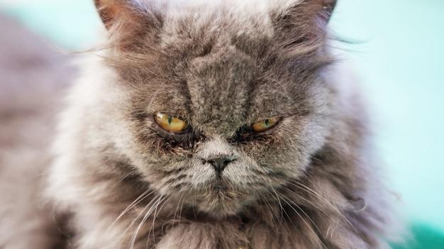 Zamknij Twarz Szary Kot Perski. Premium Zdjęcia