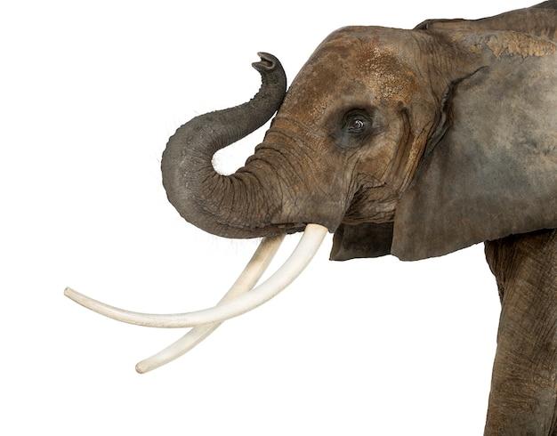 Zamyka Up Afrykański Słoń Podnosi Swój Bagażnika, Odizolowywający Na Bielu Premium Zdjęcia