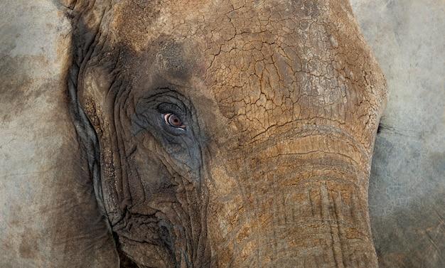 Zamyka Up Afrykański Słoń Premium Zdjęcia