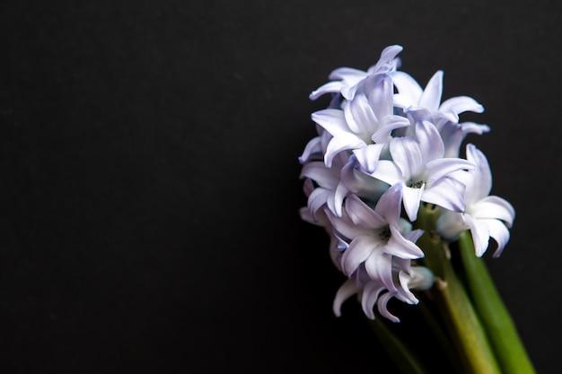 Zamyka Up Błękitni Kwiaty Hiacynty, Odgórny Widok Z Kopii Przestrzenią Dla Kartka Z Pozdrowieniami Premium Zdjęcia