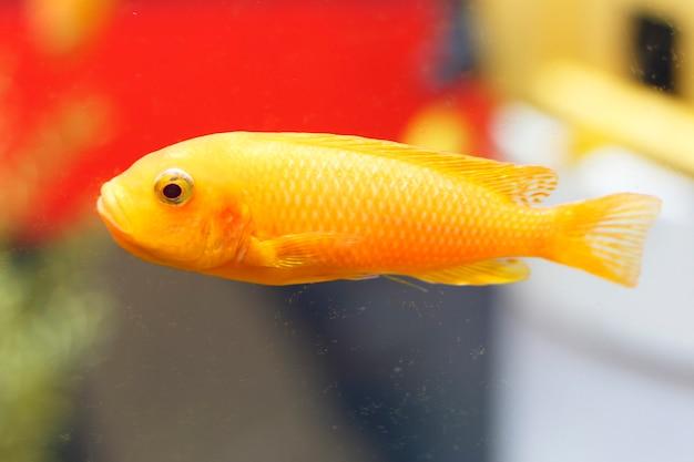 Zamyka Up Goldfish W Akwarium, Boczny Widok Premium Zdjęcia