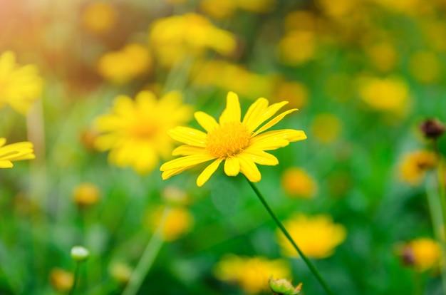 Zamyka Up żółty Dasie Kwiat Z Zielonym Liścia Tłem Premium Zdjęcia