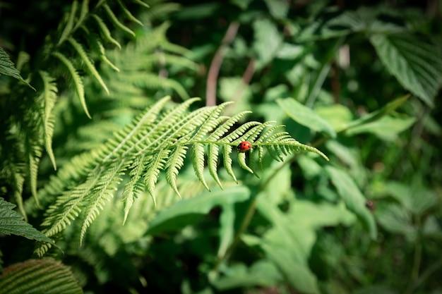 Zamyka W Górę Ciemnozielonej Paproci W Lesie. Piękne Paproci Liście Zielone Liście. Naturalne Tło Kwiatowy Premium Zdjęcia