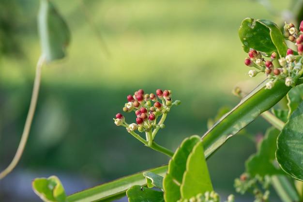 Zamyka W Górę Cissus Quadrangularis Zielarskiej Rośliny. Powszechnie Znany Jako Winogrono Veldta, Kręgosłup Diabła, Nieugięty Pnącze, Asthisamharaka Lub Hadjod. Premium Zdjęcia