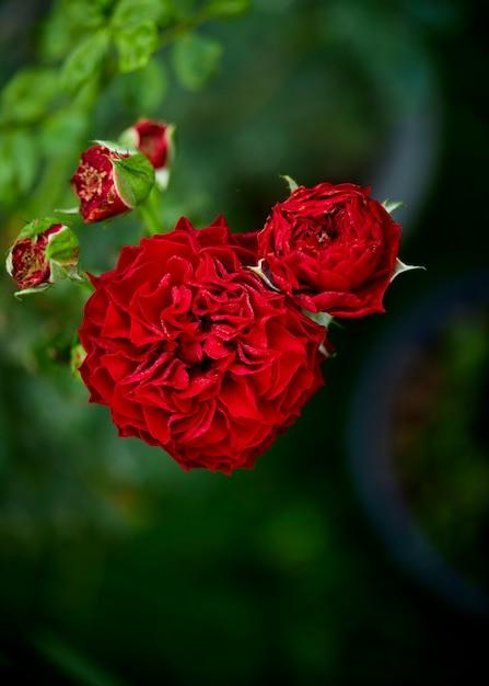 Zamyka W Górę Czerwonej Róży Kwiatonośnej Rośliny W Ogródzie Premium Zdjęcia