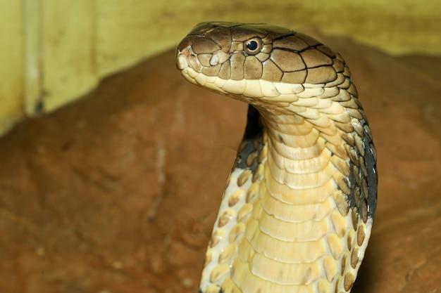 Zamyka W Górę Kierowniczej Królewiątko Kobry Jest Niebezpiecznym Wężem Przy Ogrodowym Thailand Premium Zdjęcia